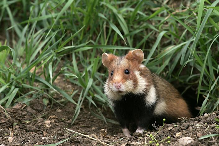 The European hamster, also known as the Eurasian hamster, black-bellied hamster or common hamster. (Photo: Sylvain CORDIER via Getty Images)