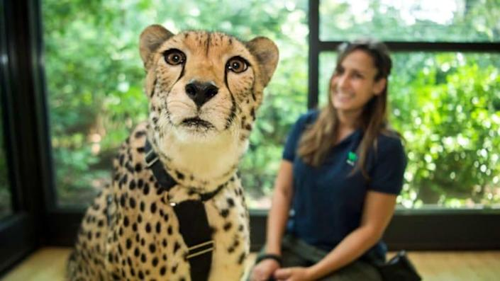 FaceTiming with a cheetah? Where do we sign up?!