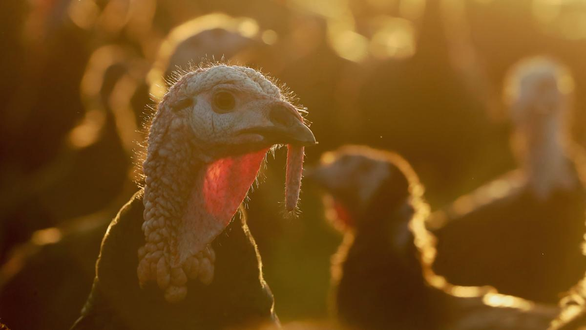 Britain 'could face national shortage' of turkeys ahead of ...