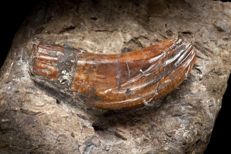 Iguanodon teeth – around 137 million years old, these teeth were discovered by Mary Ann Mantell in 1822. They were the first dinosaur teeth to be found and provided evidence to support the theory that giant reptiles had once walked the earth. (Natural History Museum)
