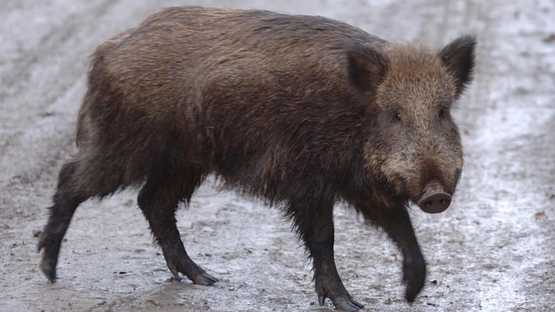 Woman killed by wild boar outside Texas home