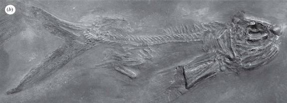 A fossil specimen of the earliest known flying fish, <em>Potanichthys xingyiensis</em>, discovered in southwest China.