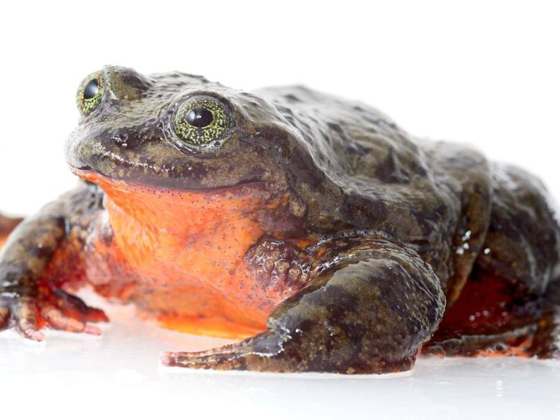 Romeo, the only known Sehuencas water frog in the world (Dirk Ercken and Arturo Muñoz)