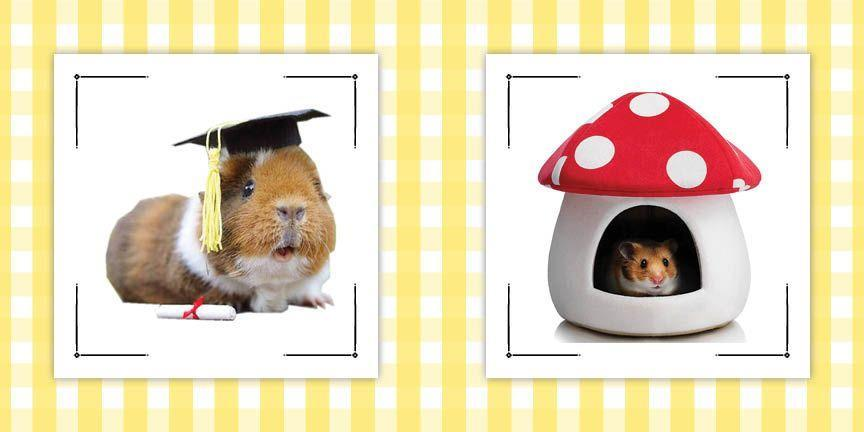 """<p>Guinea pigs aren't able to indulge in <a href=""""https://www.countryliving.com/food-drinks/g2640/halloween-cocktails/"""" rel=""""nofollow noopener"""" target=""""_blank"""" data-ylk=""""slk:Halloween cocktails"""" class=""""link rapid-noclick-resp"""">Halloween cocktails</a> or scarf down <a href=""""https://www.countryliving.com/food-drinks/g2651/halloween-cookies/"""" rel=""""nofollow noopener"""" target=""""_blank"""" data-ylk=""""slk:Halloween cookies"""" class=""""link rapid-noclick-resp"""">Halloween cookies</a>, but that doesn't mean they don't want to celebrate the season's spookiest holiday. Make sure they don't miss out on any of the fun by dressing them up in an adorable or <a href=""""https://www.countryliving.com/life/entertainment/g34075855/scary-halloween-costumes/"""" rel=""""nofollow noopener"""" target=""""_blank"""" data-ylk=""""slk:scary Halloween costume"""" class=""""link rapid-noclick-resp"""">scary Halloween costume</a>. The <a href=""""https://www.countryliving.com/diy-crafts/g29074815/family-halloween-costume-ideas/"""" rel=""""nofollow noopener"""" target=""""_blank"""" data-ylk=""""slk:family Halloween costume"""" class=""""link rapid-noclick-resp"""">family Halloween costume</a> is not complete until the littlest family members are dressed for the occasion. Whether you think your pint-size friend would prefer a hat or a full body ensemble, we've got options to suit either preference. There are also plenty of options for guinea pigs who prefer to get fancied up and those who like to keep it more casual and comfortable. We have also included choices from Amazon, so there's no need to fret if you are in need of a <a href=""""https://www.countryliving.com/diy-crafts/g23785711/last-minute-halloween-costumes/"""" rel=""""nofollow noopener"""" target=""""_blank"""" data-ylk=""""slk:last minute Halloween costume"""" class=""""link rapid-noclick-resp"""">last minute Halloween costume</a>. </p><p>If this is your first year celebrating Halloween with your guinea pig, remember not to leave them unattended in their ensemble. We'd hate for them to get tangled up. Note that these costumes shoul"""