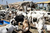Dakar's largest ruminants' market does a roaring trade over the festival period, supplying half of the 260,000 sheep consumed in the city