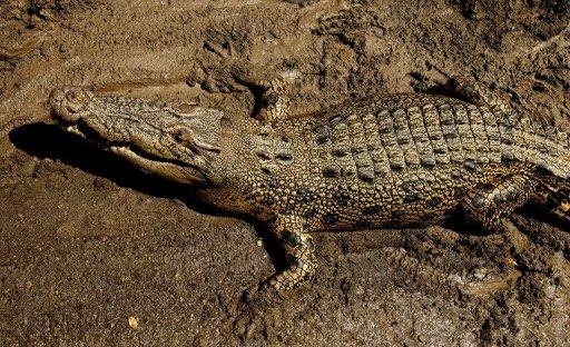 A crocodile escaped its transport container in the cargo hold of a Qantas passenger flight