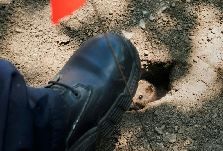 A rat tries to escape as Health Department workers place dry ice into rat burrows in New York's Sara D. Roosevelt Park on June 7, 2018
