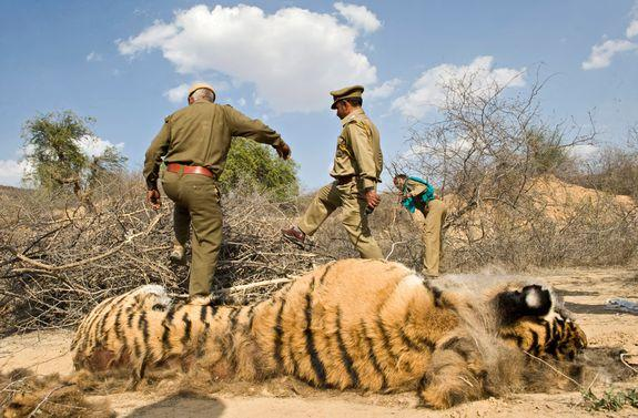 A poisoned Indian tiger found dead in 2010