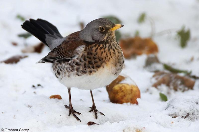 Most London fieldfares are only passing through, but a few thousand will settle in the capital's fields, woodlands and parks