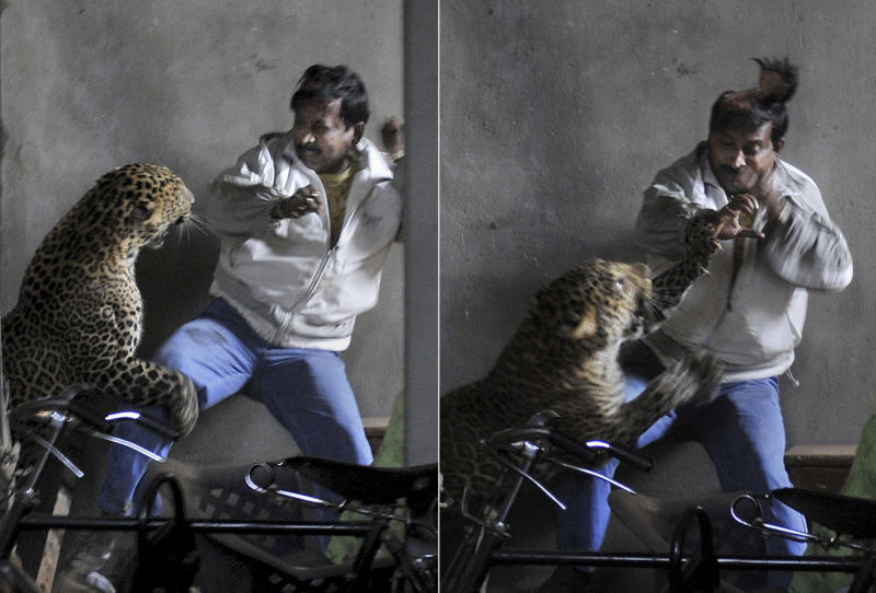 In this combination photos taken Saturday, Jan. 7, 2012, a wild full grown leopard scalps the head of a man as it attacks after wandering into a residential neighborhood in Gauhati, in the northern state of Assam, India. Later the leopard was tranquilized by wildlife official and taken to the state zoological park. The leopard ventured into a crowded area and injured four people before it was captured and caged, local reports said. (AP Photo/Manas Paran, The Sunday Indian) CREDIT MANDATORY