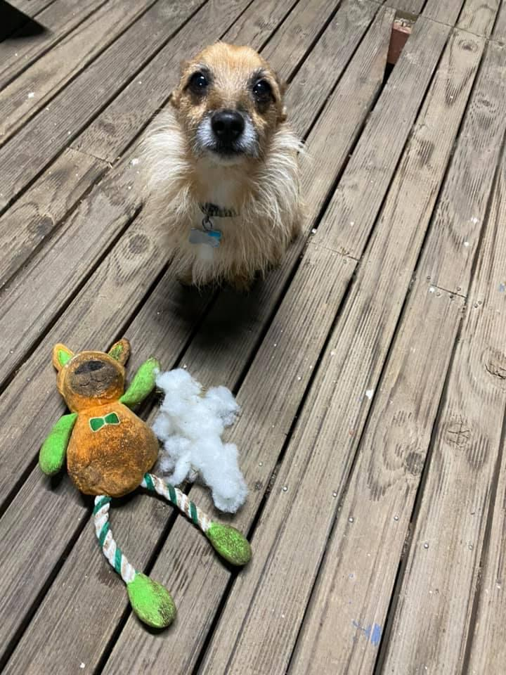 Odi had a notably guilty look on his face after ruining the $5 Aldi toy. Source: Facebook