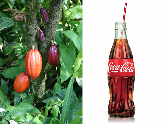 coca-cola bottle cocoa plant