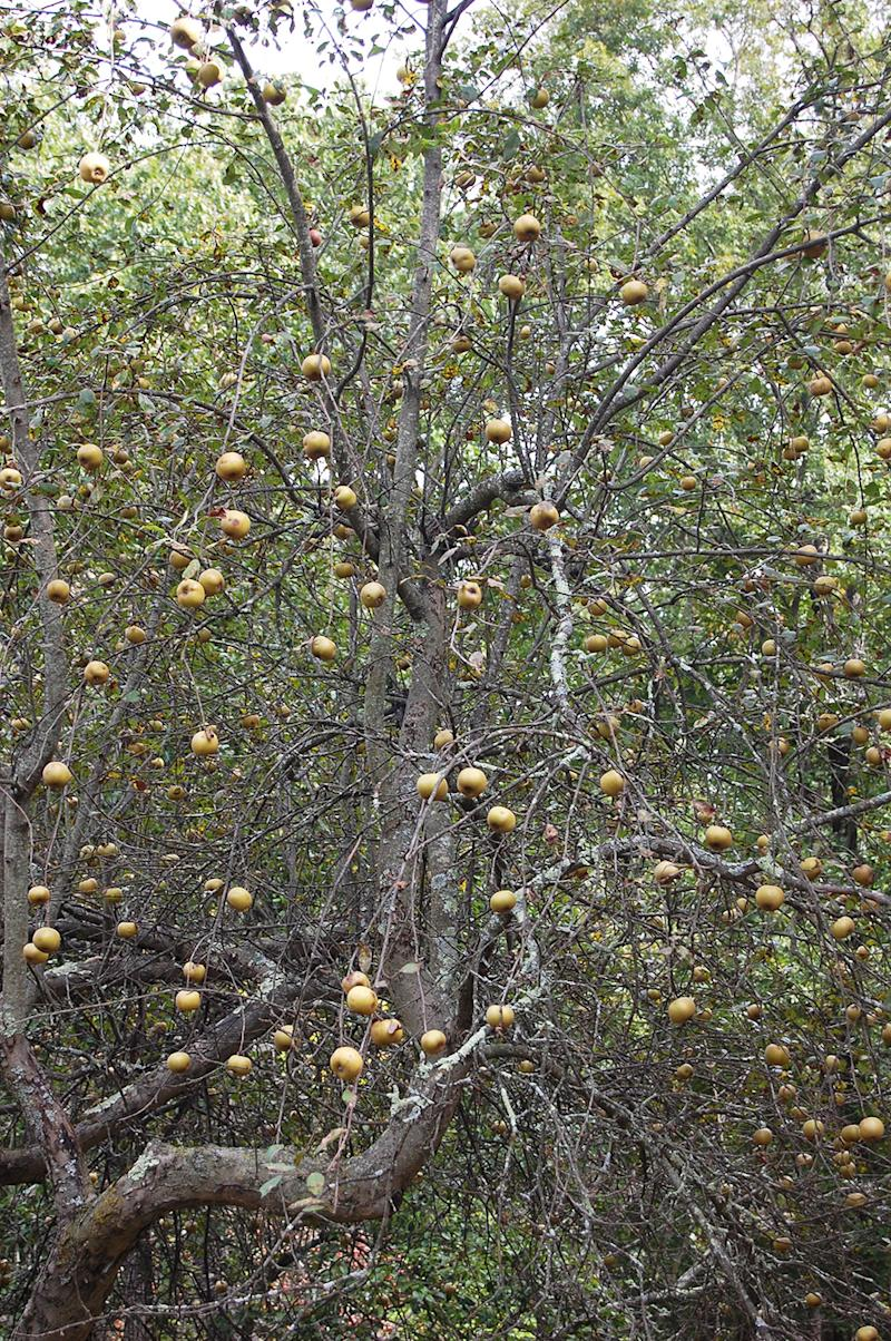 russet apple tree