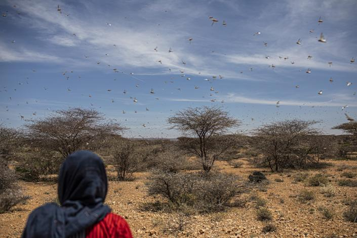 "A swarm of desert locusts flies over over land used for grazing animals in a remote part of Somalia. <span class=""copyright"">(Will Swanson / For The Times)</span>"