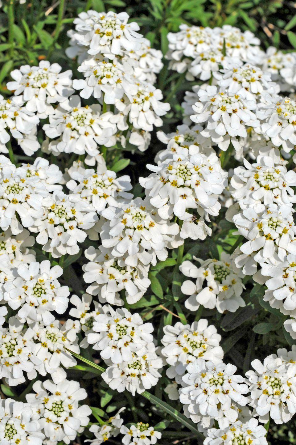 <p>This beautiful bloom is perfect for cascading over rocks or edges. </p><p><strong>Zones: 3-9</strong></p>