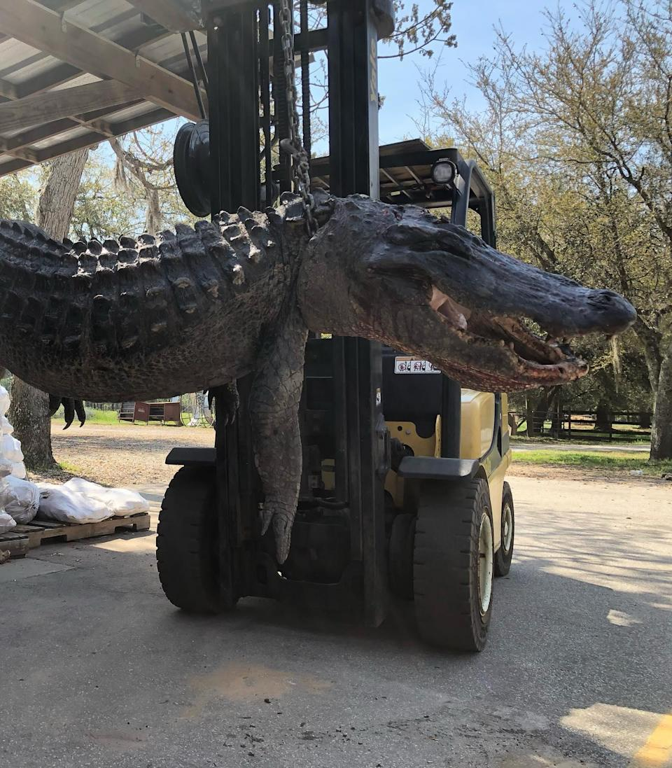 A photo, posted on Facebook, of the 445lb alligator found in South CarolinaFacebook/Cordray's