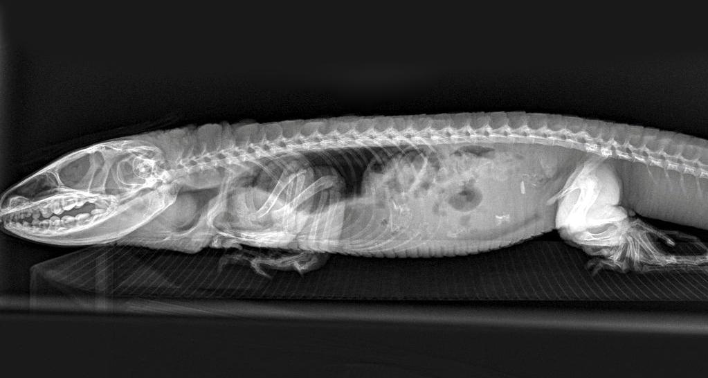 <p>A beaded lizard x-rayed at Paignton Zoo. Vets said the x-ray managed to capture the detail of some scales. </p>