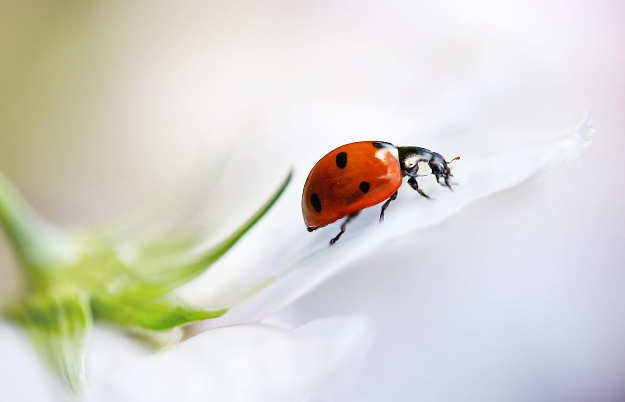 <p>Thought to take their name from the Virgin Mary – who is adorned in a scarlet cloak in early paintings – the perennially popular ladybird (Coccinellidae) appears in songs and stories from around the world. While the UK is home to 46 varieties – including the striped, larch and 22-spot ladybird – there are about 5,000 species globally. In hot countries, where the summer sun bakes plants to a crisp and decimates aphid numbers, the brilliantly coloured bug will enter a period of dormancy, aestivating en masse. When the rain returns, and habitats spring back to life, the beetles become active once again. Ladybirds play a vital part in ecosystems and provide natural pest control. Participate in the UK Ladybird Survey and record species you see (coleoptera.org.uk).<br></p>