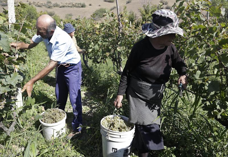 The Dolenjashvili family harvest grapes from their family vineyard that provides the only income for their family of five, Sagareyo, Georgia, Sunday, Sept. 30, 2012. Georgia holds tightly contested parliamentary elections on Oct. 1. (AP Photo/Efrem Lukatsky)
