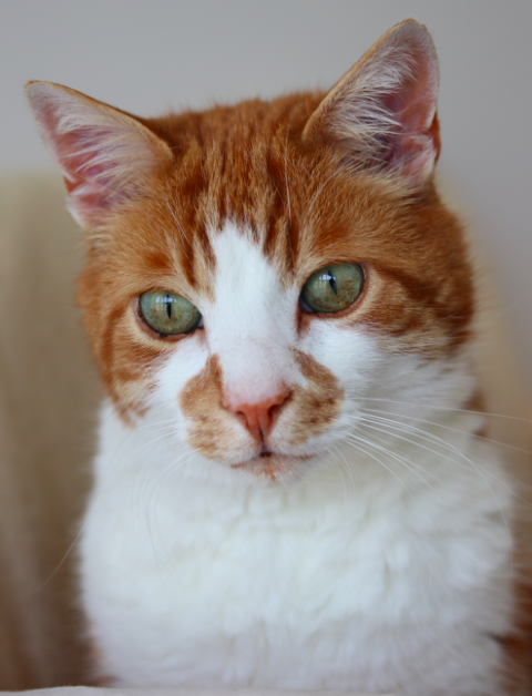 <em>The ginger and white moggie vanished in 2008 when he was just a kitten (SWNS)</em>
