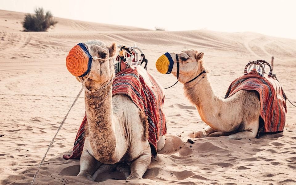 Camels resting in the desert - kolderal/Getty