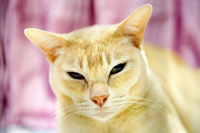 <p>Kymian Hannah, a Red Burmese Cat participates in the GCCF Supreme Cat Show at National Exhibition Centre on October 28, 2017 in Birmingham, England. (Photo: Shirlaine Forrest/WireImage) </p>