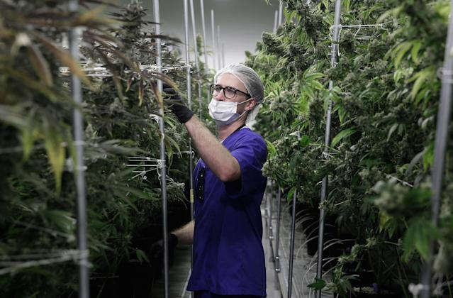 <p>Alessandro Cesario, the director of cultivation, works with marijuana plants at the Desert Grown Farms cultivation facility in Las Vegas, Nev., June 28, 2017. (Photo: John Locher/AP) </p>
