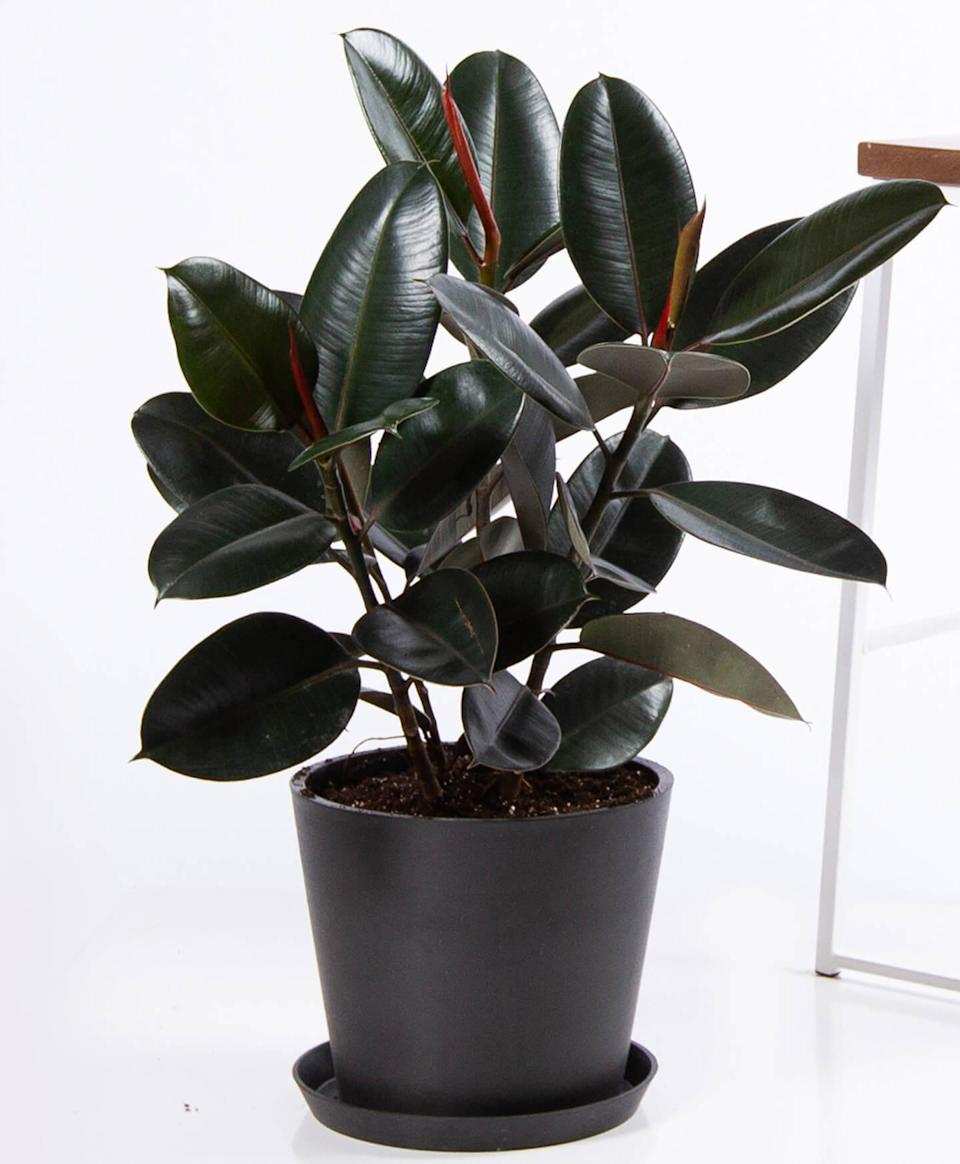 """<h2>Rubber Tree</h2><br>Rubber trees are similar to variegated ficus in their mold- and bacteria-reducing capabilities. According to Mast, they remove formaldehyde from the air as well and are also a great option for beginners or plant ladies with little time to devote to their green friends. """"Both rubber trees and ficus variegata can thrive in indirect, bright light and will also adjust to a lower light area, but the leaf colors may not be as pronounced,"""" the expert explains.<br><br><em>Shop</em> <strong><em><a href=""""http://bloomscape.com"""" rel=""""nofollow noopener"""" target=""""_blank"""" data-ylk=""""slk:Bloomscape"""" class=""""link rapid-noclick-resp"""">Bloomscape</a></em></strong><br><br><strong>Bloomscape</strong> Burgundy Rubber Tree, $, available at <a href=""""https://go.skimresources.com/?id=30283X879131&url=https%3A%2F%2Fbloomscape.com%2Fproduct%2Fburgundy-rubber-tree%2F"""" rel=""""nofollow noopener"""" target=""""_blank"""" data-ylk=""""slk:Bloomscape"""" class=""""link rapid-noclick-resp"""">Bloomscape</a><br><br><strong>The Sill</strong> Rubber Tree Plant, $, available at <a href=""""https://go.skimresources.com/?id=30283X879131&url=https%3A%2F%2Fwww.thesill.com%2Fproducts%2Frubber-tree"""" rel=""""nofollow noopener"""" target=""""_blank"""" data-ylk=""""slk:The Sill"""" class=""""link rapid-noclick-resp"""">The Sill</a>"""