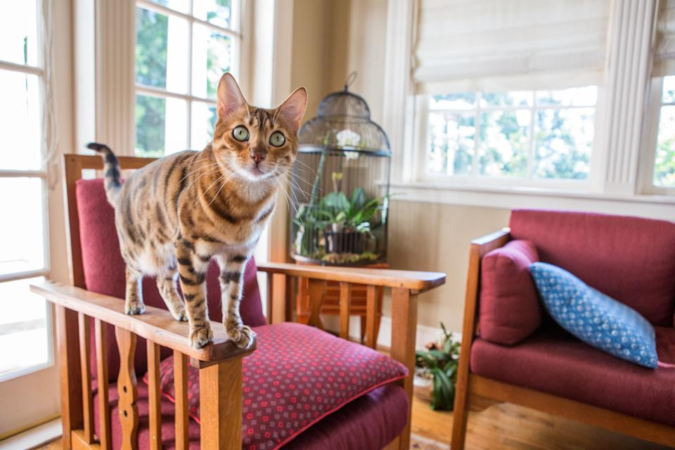 A young purebred Bengal balancing on a chair in the living room, approaching the camera with curiosity.