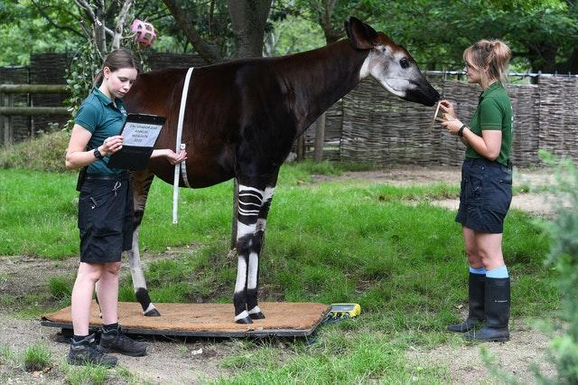 Keepers Jessica Young and Megan Harber weigh Oni the okapi, and measure her pregnant belly, during the annual weigh-in at ZSL London Zoo, London
