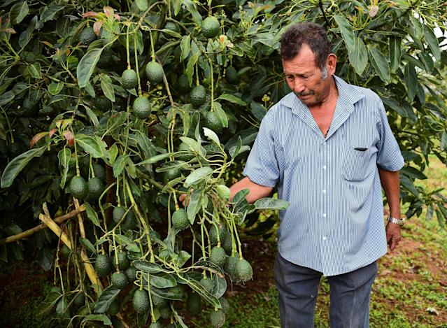 Mexican drug cartels are reportedly targeting and extorting money from avocado farmers. The criminal activity is driving U.S. prices higher. (Photo: Getty Images)