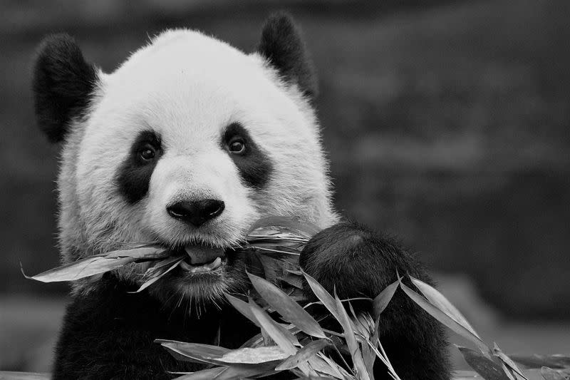 Adult female panda Er Shun is seen in an undated photograph provided by the Calgary Zoo