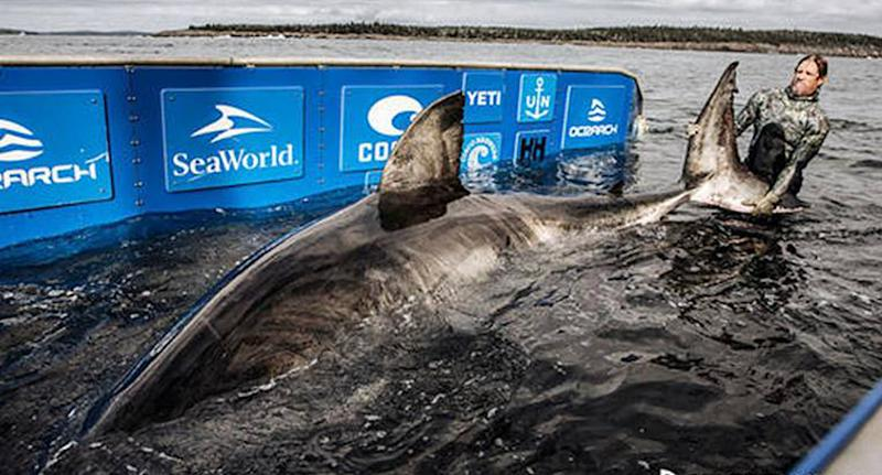 A great white shark measuring about 5.24 metres was caught in eastern Canada.
