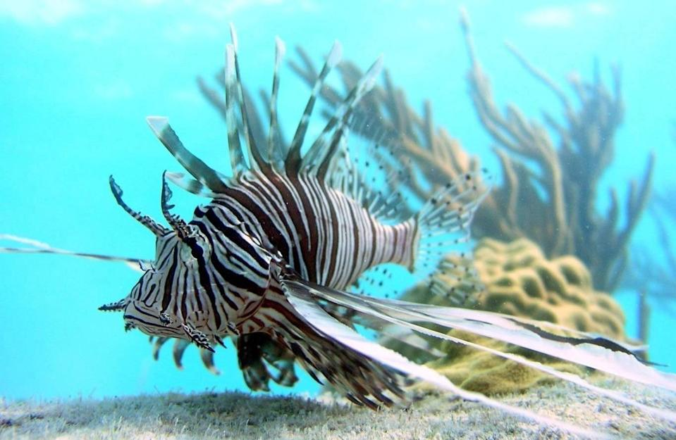 FILE - In this July, 2007 file photo released by Oregon State University, a lionfish swims off Lee Stocking Island, Bahamas. Jamaica's government announced on Saturday, April 12, 2014 a big decline in sightings of lionfish, the voracious invasive species that has been wreaking havoc on regional reefs for years and wolfing down native juvenile fish and crustaceans. They have been such a worrying problem that divers in the Caribbean and Florida are encouraged to capture them whenever they can to protect reefs and native marine life already burdened by pollution, over fishing and the effects of climate change. (AP Photo/Mark Albins/Oregon State University, File)