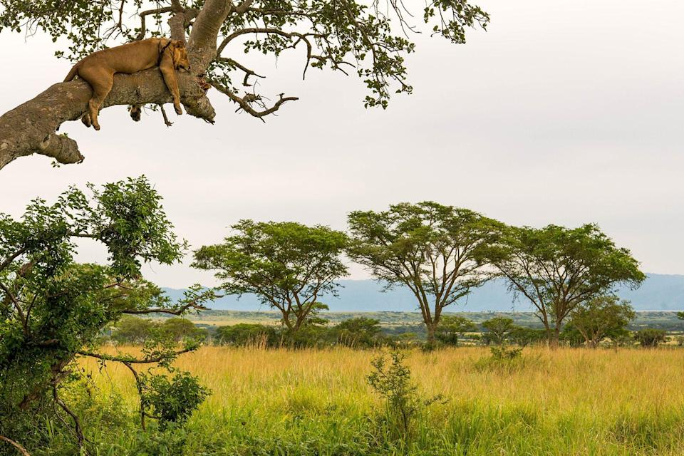 A lion in a tree in Queen Elizabeth National Park