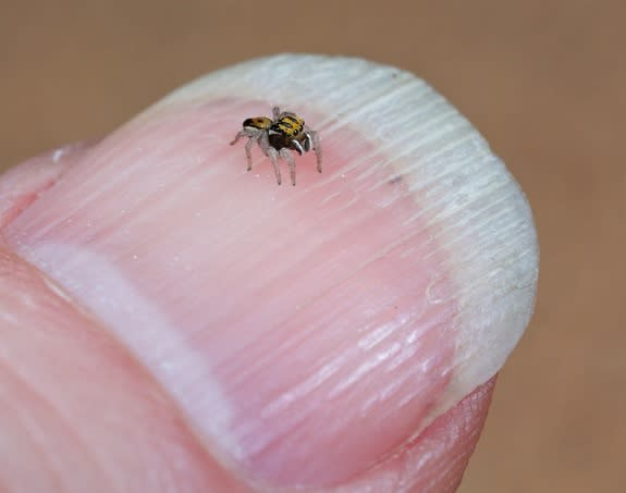 The Purcell's peacock spider, like most of its ilk, is quite tiny.