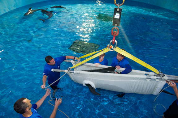 SeaWorld animal rescue team members (from left) Brian McFadden, Jeff Braso, Kelly Flaherty Clark and Brant Gabriel use a stretcher to lower a juvenile pilot whale into the rehab pool at SeaWorld Orlando's quarantine area.