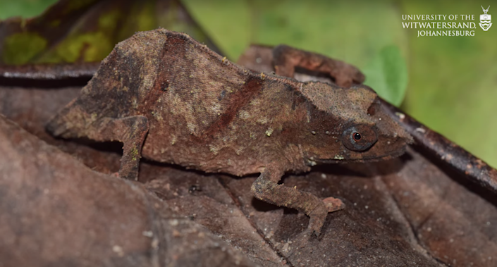 A Chapman's pygmy chameleon blending in with a leaf in a forest in Africa.