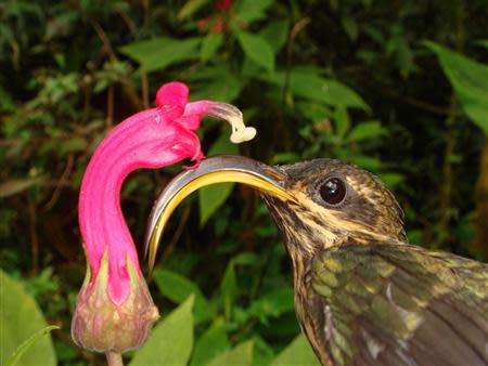 The Buff-tailed Sicklebill, a Hermit hummingbird, is seen with one of the flowers to which they are specialized
