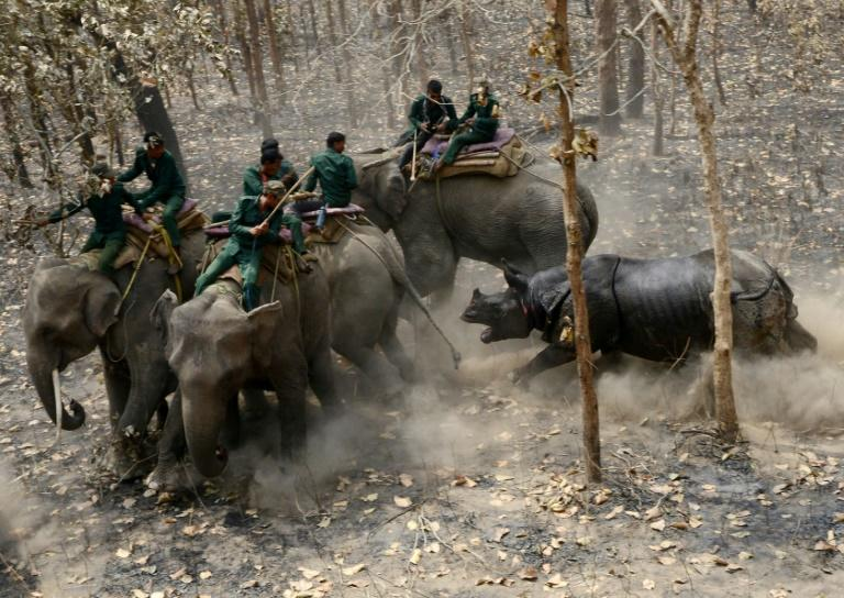 A rhino charges a Nepalese forestry and technical team after being released as part of a relocation project in Shuklaphanta National Park