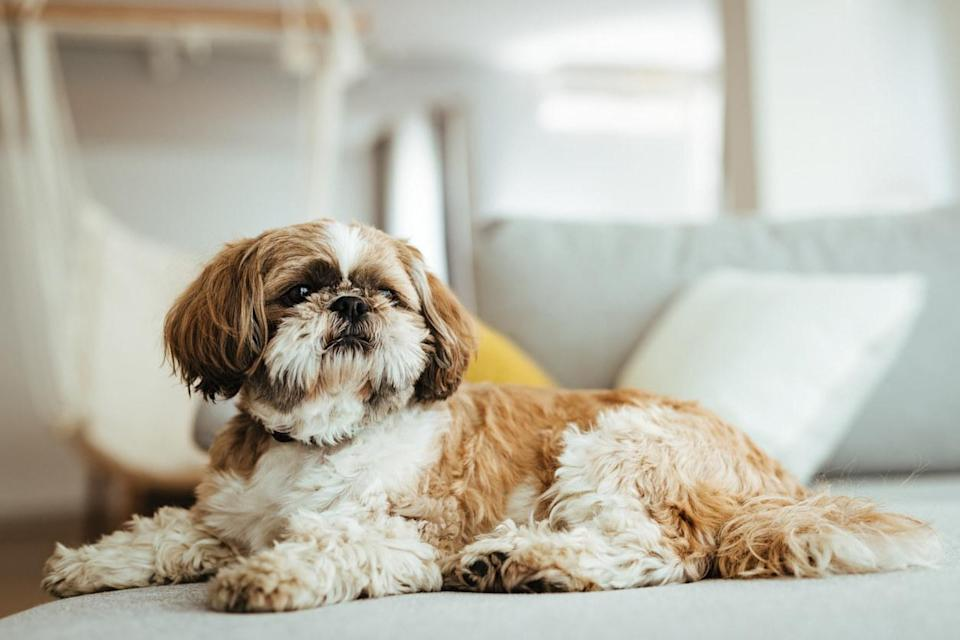 A Shih Tzu dog laying on a couch with its head up