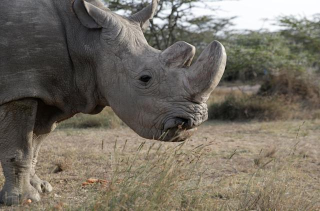 Sudan is seen at the Ol Pejeta Conservancy in Laikipia, Kenya, on June 18, 2017.
