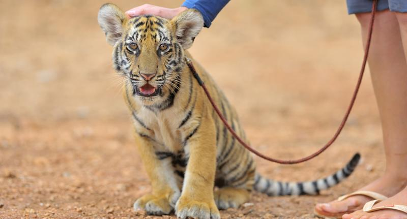 a stock image of a tiger cub on a lead.
