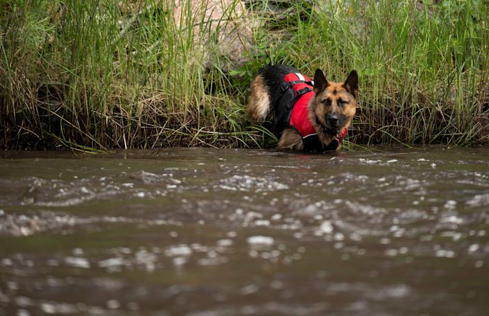 Hawk, a canine with Larimer County Search and Rescue, enters the Cache La Poudre River looking for people reported missing after a flash flood ripped through the Poudre Canyon near Fort Collins, Colo.