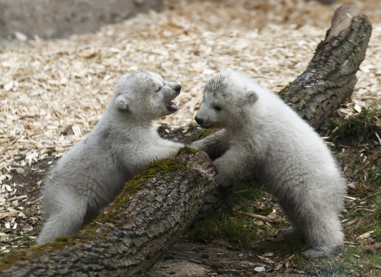 Twin polar bear cubs play outside in their enclosure at Tierpark Hellabrunn in Munich, March 19, 2014. The 14 week-old cubs born to mother Giovanna and who have yet to be named, made their first public appearance on Wednesday. REUTERS/Michael Dalder (GERMANY - Tags: ANIMALS SOCIETY)