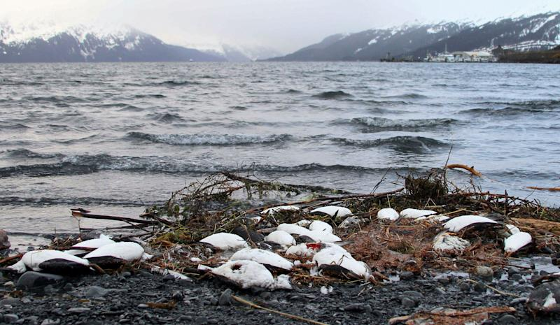 Dead common murres lie washed ashore in Whittier, Alaska, in 2016. (Photo: AP Photo/Mark Thiessen)