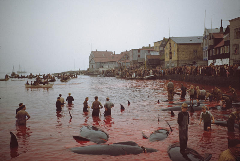 Marine mammals are slaughtered during a hunt in 1947 on the Faroe Islands. Source: Getty