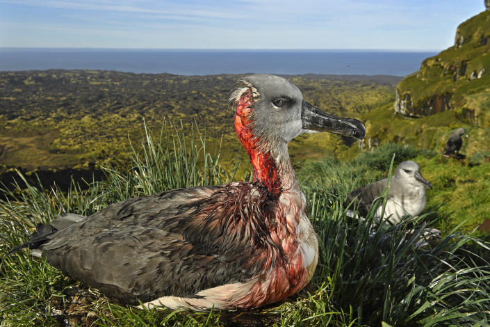 <p>Attack of the zombie mouse: A juvenile gray-headed albatross on Marion Island, South African Antarctic Territory, is left injured after an attack by mice from an invasive species that has begun to feed on living albatross chicks and juveniles, May 1, 2017.<br>Mice were introduced to the island by sealers in the 1800s and co-existed with the birds for almost 200 years. In 1991, South Africa eradicated feral cats from Marion Island, but a subsequent plan to do the same to the mouse population failed to materialize. An expanding population and declining food sources led the abnormally large mice to attack albatrosses and burrowing petrels. An environmental officer has now been appointed to monitor the mouse population and conduct large-scale poison bait trials. (Photo: Thomas P. Peschak) </p>
