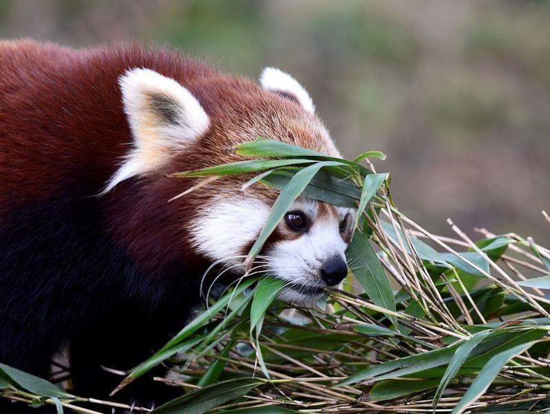 FILE PHOTO: A Red Panda eats bamboo at the Manor Wildlife Park, near Tenby, Pembrokeshire, Wales