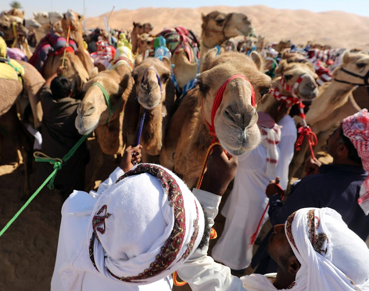 <p>Handlers prepare camels to race during the festival. (Photo: Karim Sahib/AFP/Getty Images) </p>